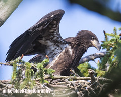 077df2 (Mike Black photography) Tags: bald eagle bird eaglet nature sky canon 5dsr 800mm lens body usm l big year birdwatching nj new jersey shore mike black july 2017
