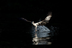 Osprey (nikunj.m.patel) Tags: osprey nature wildlife photography bird summer migration birds birdofprey avian nikon outdoor fish river fishing catch raptor shadows light dark