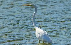 Great egret - Velika bela čaplja (Bojan Žavcer) Tags: greategret egrettaalba velikabelačaplja čaplja bird animal wildlife canoneos7dmarkii ef600mmf4lisusm