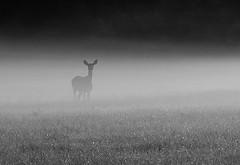 bambi mist (Isaiah62:1) Tags: deer fog field landscape blackandwhite monocrome nature wildlife landscapeinblackandwhite