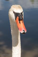 Swan - Cigno Ritratto (gdrk) Tags: pentaxk1 pentaxdfa2470 nature swan portrait ritratto