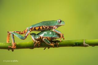 Thats my dose! - Super Tiger Legged Waxy Monkey Leaf Frog D50_8073.jpg