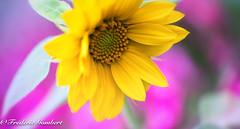 sun in the garden (frederic.gombert) Tags: sun sunflower light sunlight macro color colors pink yellow close up nikon d810 105mm summer
