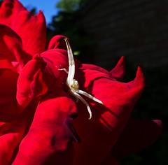 Surprise (ArtGordon1) Tags: spider arachnid arachnids rose rosepetals walthamstow london england uk davegordon davidgordon daveartgordon davidagordon daveagordon artgordon1