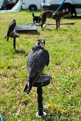 DSC_8785 (fjaphotography.co.uk) Tags: birds birdsofprrey daresbury steam england unitedkingdom gb