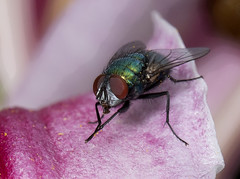 Greenbottle_1126 (Peter Warne-Epping Forest) Tags: select greenbottle fly pollen lily