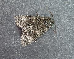 73.046 Poplar Grey - Subacronicta megacephala (erdragonfly) Tags: 73046 bf2278 subacronictamegacephala