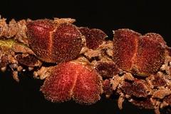 Noahdendron nicholasii (andreas lambrianides) Tags: noahdendronnicholasii hamamelidaceae noahdendron australianflora australiannativeplants australianrainforests australianrainforestplants arfp qldrfp lowlandarf arffs brownarffs