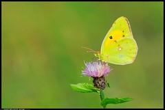 DSC_1446-07-08-1 -colias crocea (r.zap) Tags: coliascrocea farfalla rzap parcodelticino
