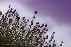 170707 La Maison de Lavande - St-Eustache   -0310 (Serge Léonard) Tags: lamaisondelavande villedesteustache lamaisonlavandrecultureetparfumerie parfumerie plantfarm
