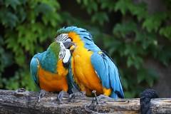 Parrots. (Super_Marty) Tags: italy mr7 love animals colors parrots flora fauna birds nature