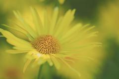 Sunkissed (Karsten Gieselmann) Tags: 40150mmf28 blumen blüten bokeh dof em5markii frühling gelb grün jahreszeiten mzuiko margerite microfourthirds natur olympus pflanzen schärfentiefe blossom daisy flower green kgiesel m43 mft nature seasons spring yellow