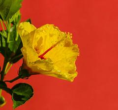 Ibiscus Boreas Yellow - Morning Light (G.Sartori.510) Tags: pentaxk1 ibiscusboreasyellow pdc dof morninglight lzosmcrubinarkmacro500mmf54 lzos rubinar 500mm