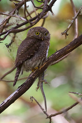 Northern Pygmy Owl with lizard 7427