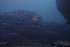 Grey Nurse 6 (sarah.handebeaux) Tags: bondi diving visibility fantastic july shark grey nurse sand tiger ragged tooth sharks big
