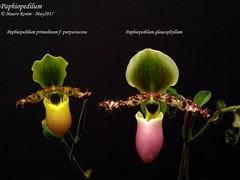 Paphiopedilum primulinum f. purpurascens & Paph. glaucophyllum (Mauro Rosim) Tags: orchid orquídea flower slipper sapatinho terrestre terrestrial