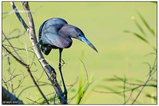 Little Blue Heron DSC_6501