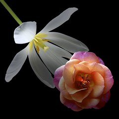 Rose & Tulip (Pixel Fusion) Tags: rose tulip flower flora nature macro nikon d600