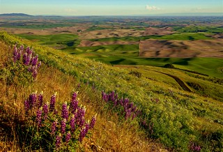 Lupine on Steptoe Butte evening glow