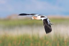 Avocet in Flight (Amy Hudechek Photography) Tags: avocet flight utah bearrivermigratorybirdrefuge spring nature wildlife amyhudechek