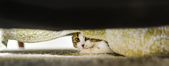 busted, i need a new hiding place (pbo31) Tags: tulip cat kitten livermore pleasanton california nikon d810 color pet eastbay alamedacounty boury pbo31 june 2017 spring hide hiding eyes kitty under scottishfold breed