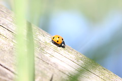 La corsa (nuovalucefoto) Tags: coccinella animali natura insetto insetti macro legno luce giorno ladybug insects animals nature insect wood light day daylight bug macrounlimited
