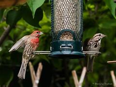 Roselin familier ou du Mexique - Mâle et femelle (Danièle T) Tags: roselin familier mexique mâle femelle oiseaux oiseau haemorhous mexicanus