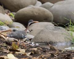 Sunbittern (J.B. Churchill) Tags: birds costarica heredia heronsegrets places sunb selvaverdelodge sunbittern taxonomy herediaprovince cr