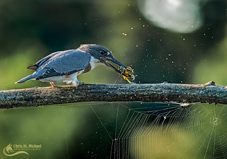 Kingfisher and the Crayfish