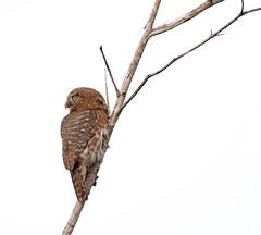 Cuban Pygmy-Owl _ Glaucidium siju (Kremlken) Tags: endemics cuban owls pygmy zapata isla birds birding