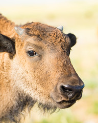 spring bison (1 of 1) (Jami Bollschweiler Photography) Tags: spring bison baby youngster buffalo utah wildlife photography little red dog