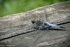 Libelle / Dragon-Fly (R.O. - Fotografie) Tags: libelle dragonfly natur nature insekt insect nahaufnahme closeup close up nah animal tier panasonic lumix dmcfz1000 dmc fz1000 fz 1000 rofotografie nieheim teich pond lake nrw