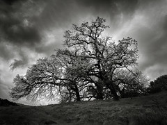 Five Trail Junction Trees (StefanB) Tags: 2017 almadenquicksilver bw california em5 geotag hiking monochrome outdoor tree treescape 1235mm