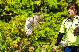 Barn Owl, Daikichi in Flight : メンフクロウのダイキチの飛翔