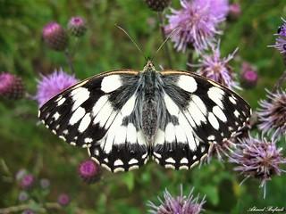 Butterfly 1333