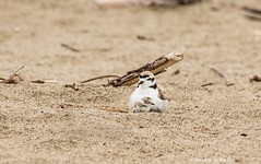 Under a watchful eye (Photosuze) Tags: plovers westernsnowyplovers chick hatchling baby newborn father birds avians aves animals nature wildlife endangered