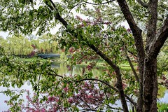 Spring Blossoms (Wes Iversen) Tags: bokehwednesday chicagobotanicgarden glencoe hbw illinois nikkor50mmf18 spring weepingwillows willowtrees blossoms bridges flowering flowers lakes trees footbridges