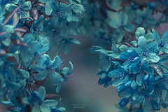 Be happy for this moment ... (mariola aga) Tags: spring tree flowers blossoms blue hue closeup art goodluck saariysqualitypictures