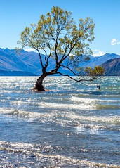 That Wanaka Tree-9