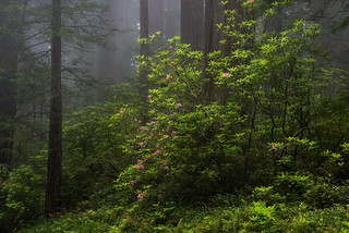 Redwoods In Spring