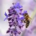 Abeille - Bee - Ape