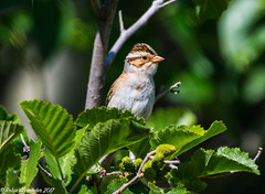 White Throated Sparrow (higgins3006) Tags: bird whitethroatedsparrow sparrow camping slavelake