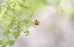 (Okan AKGÜL) Tags: ladybug uğurböceği macro closeup dof depthoffield insect sony alpha58 summer nature