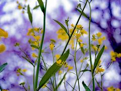 Little Flower (hixar) Tags: little flower hana 花 小さい 可愛い cute