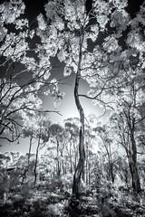 Box Ironbark Forest (Matt OZW) Tags: monochrome infrared
