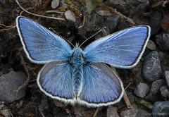Alpine argus (kimbenson45) Tags: albulina alpine alpineargus alps berneseoberland plebejusorbitulus schweiz suisse swiss switzerland black blue butterfly closeup insect macro nature outdoors white wildlife