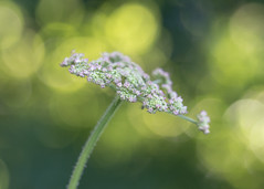 the beauty of cow parsley (Emma Varley) Tags: cowparsley wildlfower weed pink white bokeh shallowdepthoffield green dreamy soft gentle peaceful light trees evening