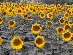 Sunflowers - selective color yellow (Nikos Karatolos) Tags: nature flowers sunflowers samyang 50mm f12 yellow insects bees selective color