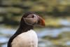 Puffin (Claudia Brockmann) Tags: natur nature wildlife outdoor puffin puffins papageientaucher wasservogel wasser