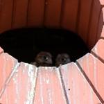 Los #polluelos del #nido de #cernícalo vulgar (#Falco tinnunculus) van creciendo #chick #aves #birds #birdsofinstagram #falconiformes #falconidae #kestrel #xoriguer #bcn #barcelona #falconidos #pajaros #nest thumbnail